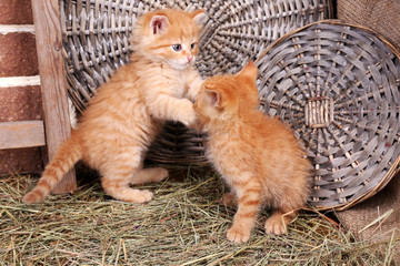 Cute little red kittens playing