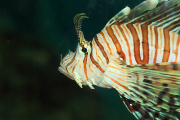 Luna lionfish (Pterois lunulata) in Japan