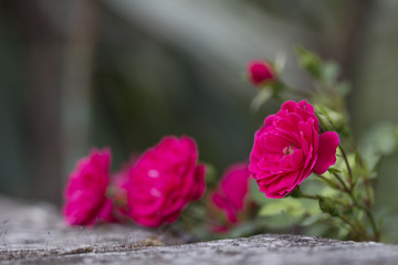 pink roses in a stone wall