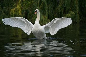 Poster Cygne Mute Swan, Cygnus olor