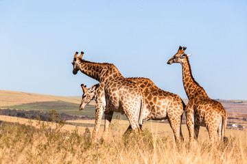 Giraffes Three Affections Blue Sky Wildlife Animals