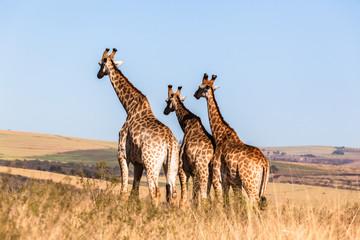 Giraffes Three Affections Touching Wildlife Animals