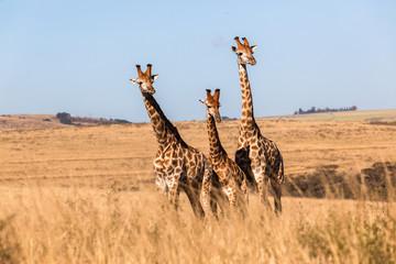 Three Giraffes Together Wildlife Animals