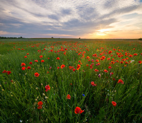 Obraz Polne maki pośród traw i kwiatów polnych - fototapety do salonu