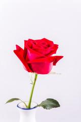 closeup red rose in chiangmai Thailand
