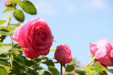 Rosa Rosen unter blauem Himmel