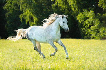 White Arabian horse runs gallop in the sunset light