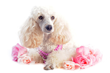 poodle and flowers