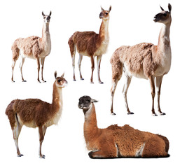 Wall Murals Lama Set of few guanaco. Isolated on white