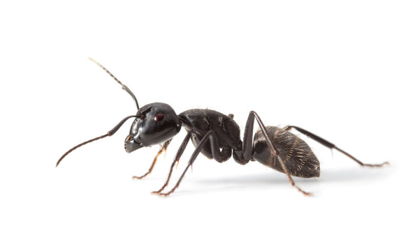 Ant side view