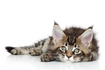 Wall Mural - Maine Coon kitten