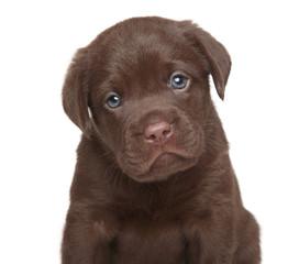 Labrador retriever puppy, portrait