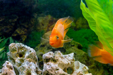 beautiful aquarium decorative orange parrot fish