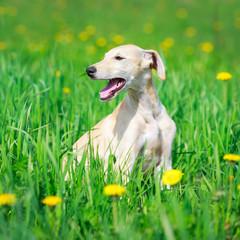hortaya borzaya dog