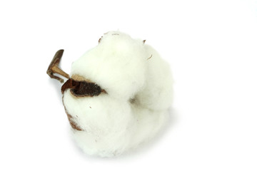 Cotton plant on white background. Macro image.