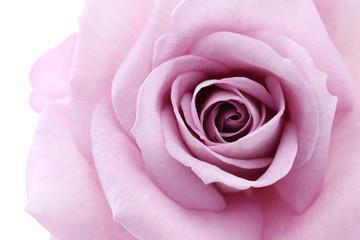 soft violet rose, close up
