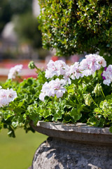 Photo Stands Bonsai Bright heranium flowers in ancient stone pot