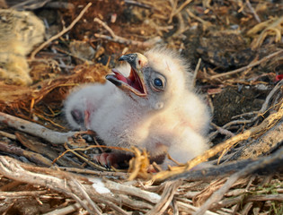small nestling in the nest