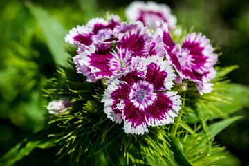 white and purple flowers, beauty, blooming carnation