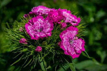 deep pink flowers, nature, beauty, flower beds