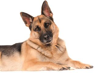 Deutscher Schäferhund liegend