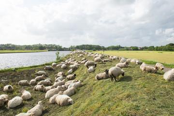 Sheep on the dyke