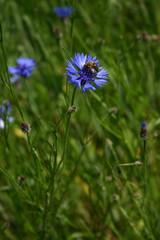 Pszczoła z pyłkiem na nóżkach
