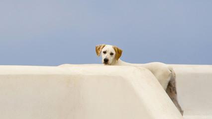 Wall Mural - Dog in Santorini