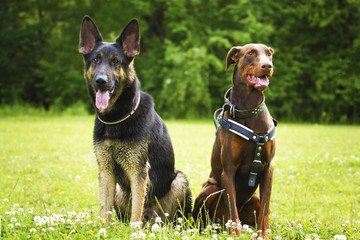 two fun german shepherd puppy and brown doberman pinscher dog