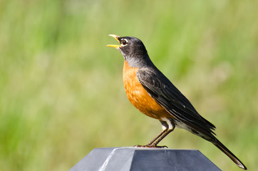 Wall Mural - American Robin Singing While Perched on a Backyard Light