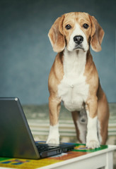 Nosy beagle near laptop