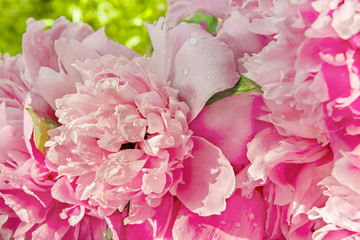 Pink peony with drops of water close up