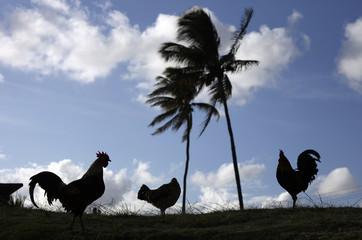 Hurricane Iniki Chickens