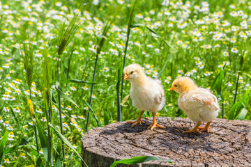 Two chicken on a stump