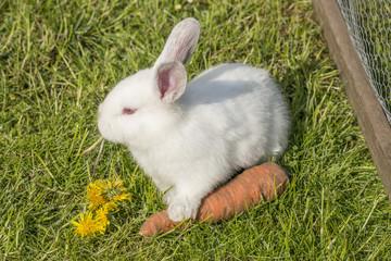 Weißes junges Albino Kaninchen