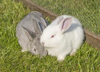 Weißes und graues Kaninchen im Käfig