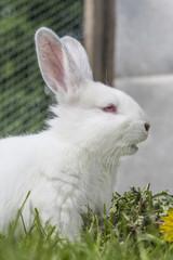 Kaninchen Albino