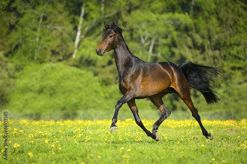 Bay horse runs trot in freedom