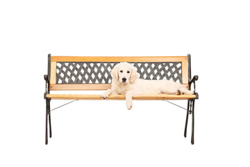 Cute Labrador puppy lying on a wooden bench