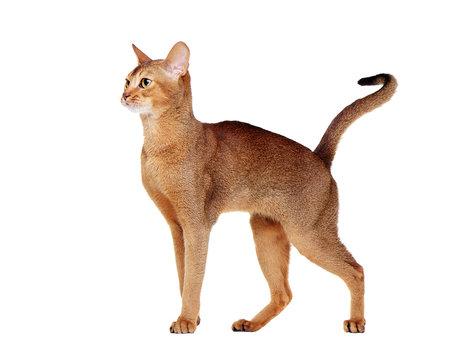 abyssinian cat  side view portrait