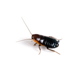Blatta orientalis - female black cockroach on white