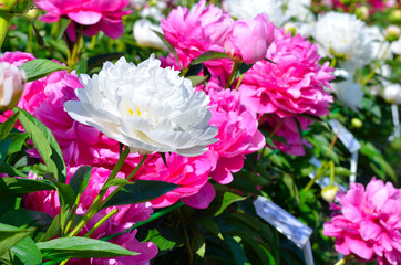 Blooming purple and white peony flowers in the garden