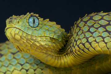 Tree viper / Atheris squamigera