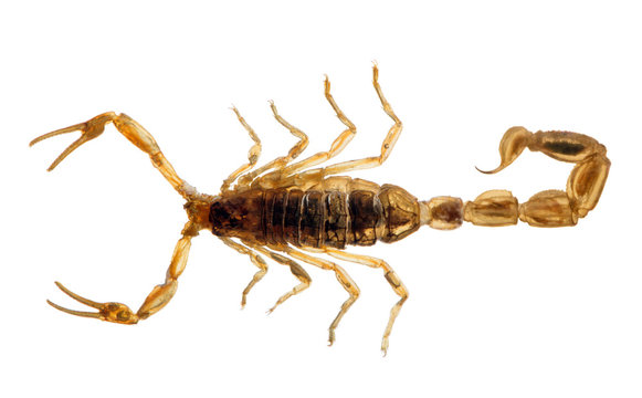 small golden isolated scorpion top view
