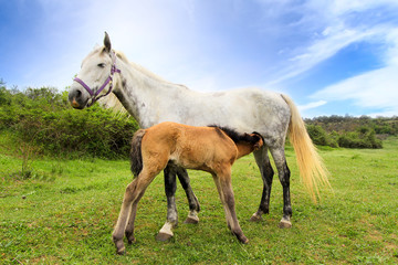 Mother horse gives milk for her little foal
