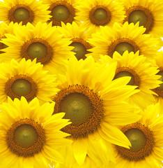 beautiful yellow Sunflower petals closeup.
