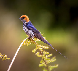 striped swallow on perch