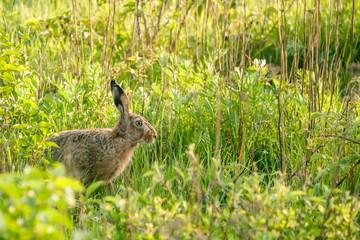 Wild hare in a green garden