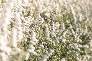 White flower field at springtime