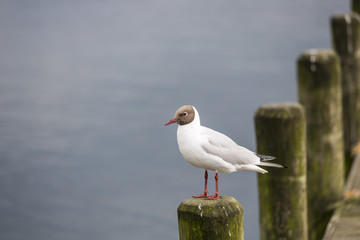 Black-headed gull (Chroicocephalus ridibundus) perching on pole